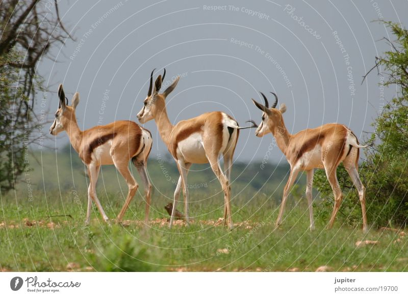 3 Springböcke Afrika Safari Namibia Antilopen Springbock