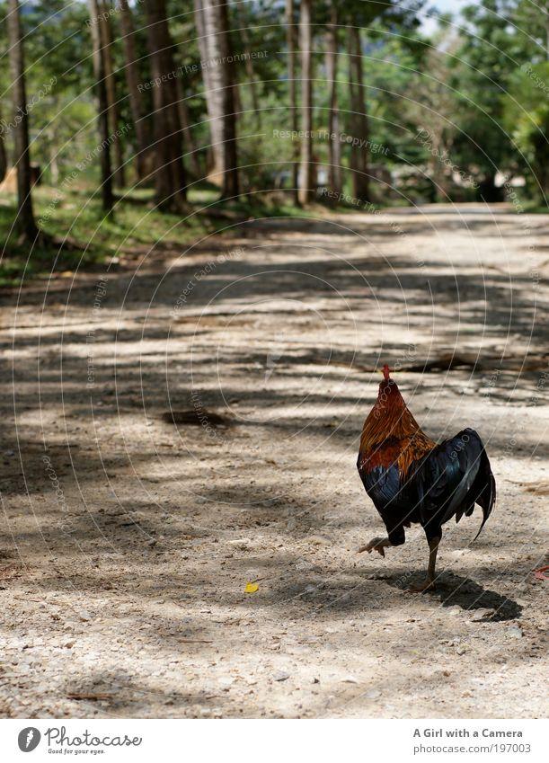 ich denke ich hau mal ab Natur Sommer Baum Nutztier Vogel Flügel Krallen Hahn 1 Tier entdecken laufen rennen Ferne Freundlichkeit Fröhlichkeit schön mehrfarbig