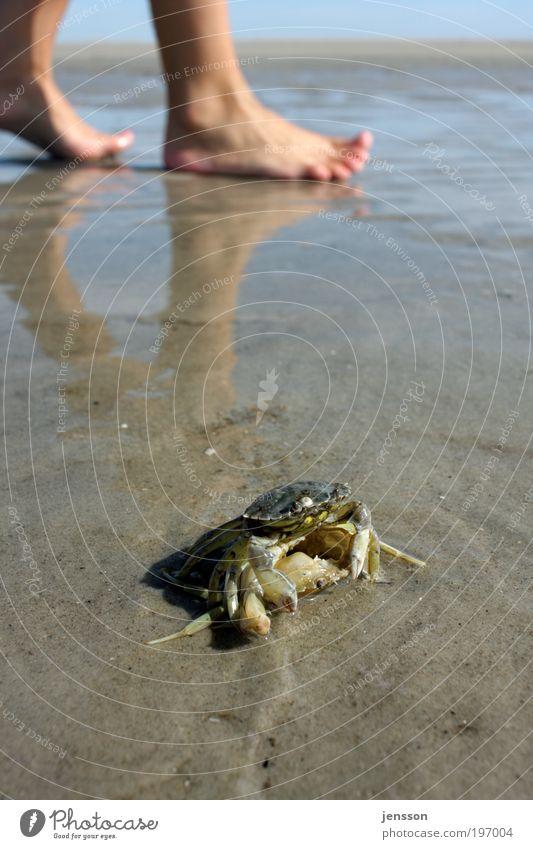 Strandläufer Meeresfrüchte Fuß 1 Mensch Umwelt Natur Pflanze Sommer Küste Nordsee Tier entdecken krabbeln nass natürlich Krebstier Krabbe Farbfoto Außenaufnahme