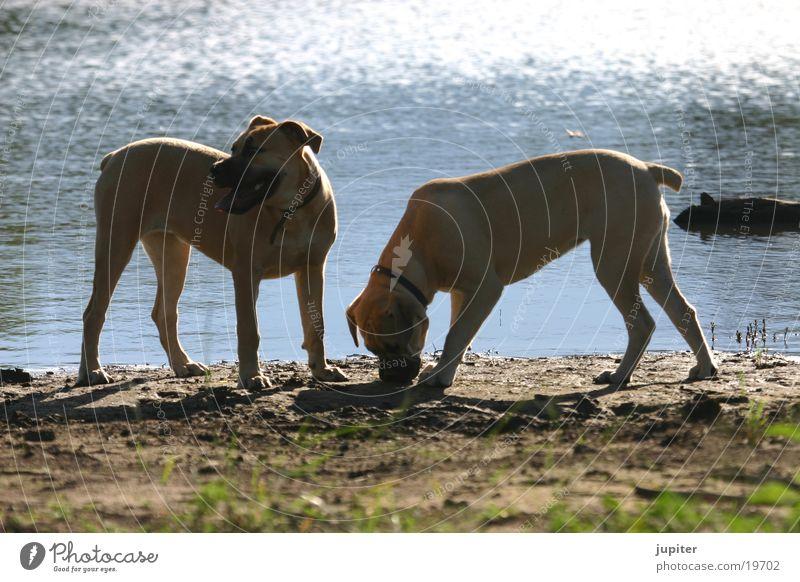 Boerboell-Welpen Hund Afrika Namibia