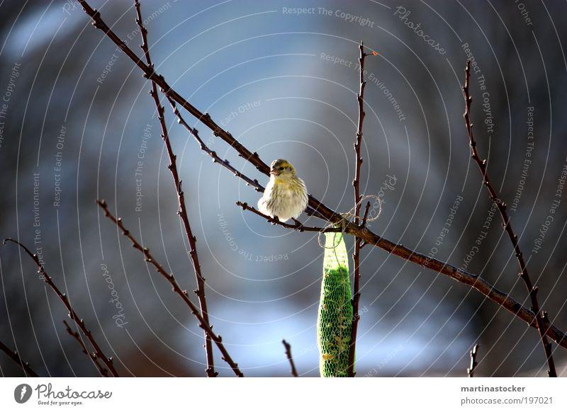 Frühlingsgeflügel weiß Baum grün blau schwarz Tier gelb Frühling Freiheit Glück Zufriedenheit braun Vogel Umwelt frei sitzen