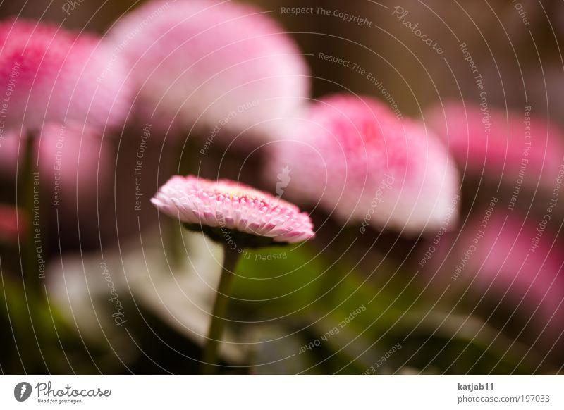 Tausendschönchen Natur Blume Pflanze rot Frühling rosa Gänseblümchen Wiesenblume