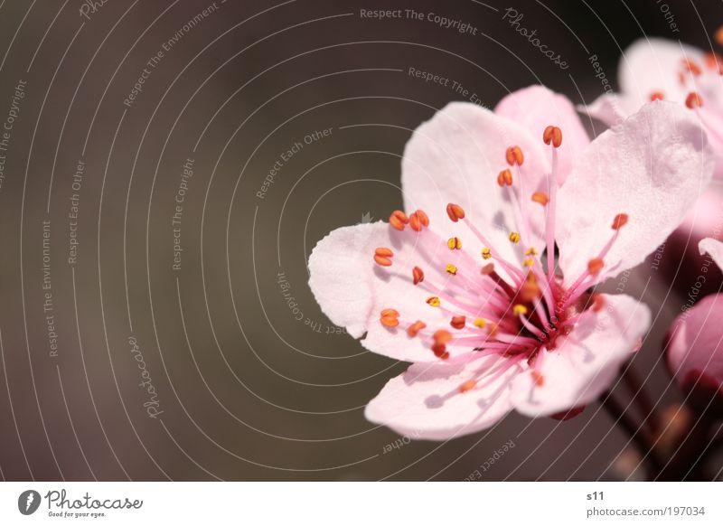 Kirschblüte Umwelt Natur Pflanze Frühling Schönes Wetter Baum Blume Park Blühend Duft Wachstum ästhetisch elegant schön rosa Stimmung Zufriedenheit Lebensfreude