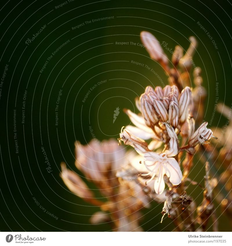 """Asphodelosblüte Pflanze Frühling Blume Wildpflanze Feld """"Symbol,"""" Antike Blühend Duft Wachstum ästhetisch natürlich weiß Frühlingsgefühle Trauer Tod Unkraut"""