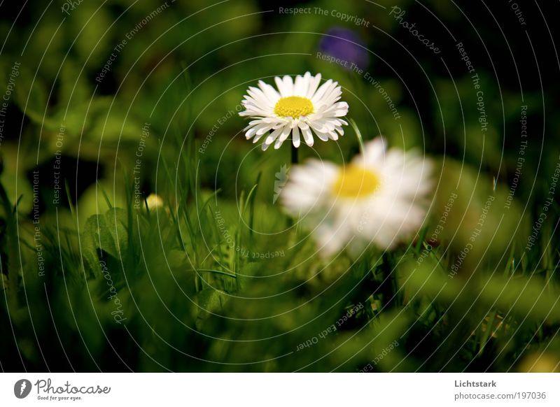 niemand weiß, wie lang es dauert Natur Pflanze grün weiß Blume Blatt Umwelt gelb Blüte Wiese Gras natürlich Stimmung Wachstum frisch authentisch