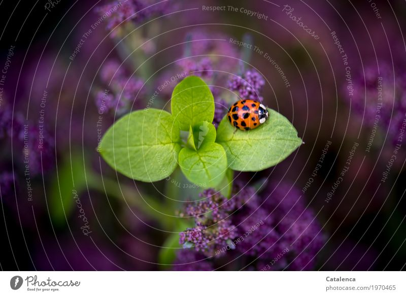 Marienkäfer Natur Pflanze Sommer grün Blatt Tier schwarz Umwelt Blüte Glück Garten orange Design ästhetisch violett Umweltschutz