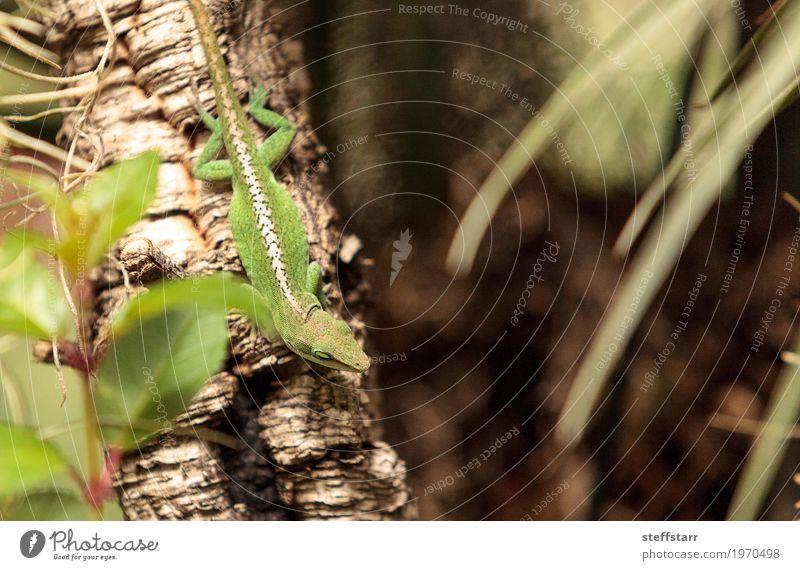 Grüne Anole wissenschaftlich bekannt als Anolis Carolinensis Natur Pflanze Baum Garten Tier Haustier Tiergesicht Schuppen 1 braun grün weiß Lizard Echsen Reptil