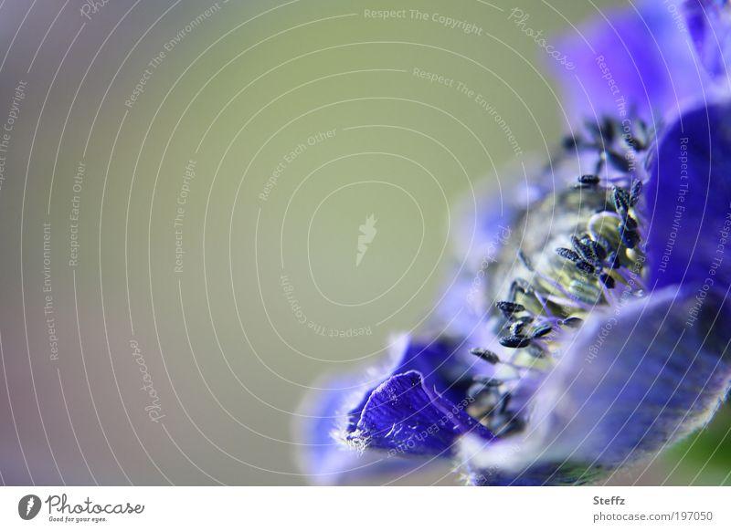 romantische blaue Anemone blühende Anemone Romantik Valentinstag blaugrün dezent Frühlingsblume besonders anders weich zart sanft blaue Blume Blüte