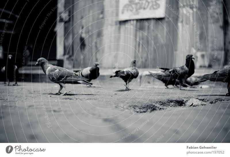 a flock of pigeon Stadt weiß Tier dunkel schwarz Umwelt Bewegung Vogel Armut Wandel & Veränderung Neugier Hütte Altstadt Taube Schwarm Thailand