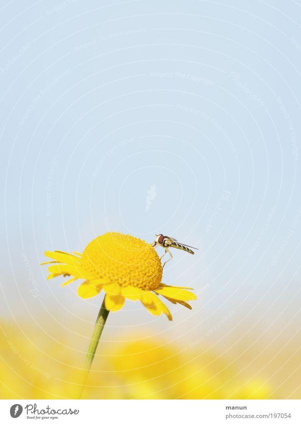 angedockt Wohlgefühl Erholung ruhig Umwelt Natur Himmel Frühling Sommer Blume Blüte Wildpflanze Wildtier Fliege Schwebfliege Insekt Fröhlichkeit Zufriedenheit