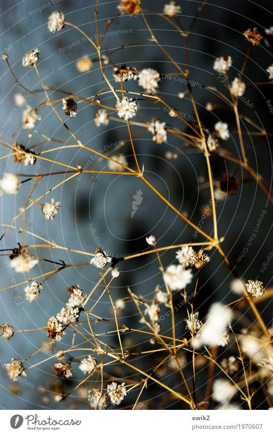 Kammerflimmern Herbst Pflanze Sträucher Blüte Trockenblume Dekoration & Verzierung Halm Stengel dünn authentisch viele Design zerbrechlich getrocknet Zierde
