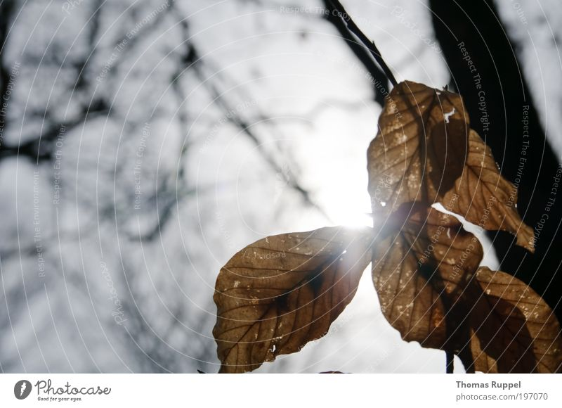 Sonnenblätter Himmel Natur Baum Pflanze Blatt hell braun Stimmung Zufriedenheit Wolkenloser Himmel