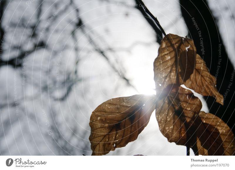 Sonnenblätter Natur Pflanze Himmel Wolkenloser Himmel Sonnenlicht Baum Blatt hell braun Stimmung Zufriedenheit Farbfoto Außenaufnahme Menschenleer