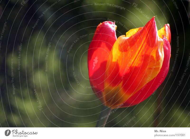 tulpe Natur Pflanze rot Blume gelb Blüte Frühling Park orange frisch ästhetisch Dekoration & Verzierung Blühend Tulpe Valentinstag Frühlingsgefühle