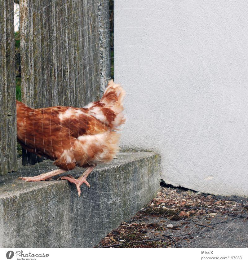 Schnell weg, sonst gibts Hühnersuppe Tier Freiheit lustig Vogel Angst Geschwindigkeit verrückt Bauernhof Zaun Ei Landwirtschaft Barriere Bioprodukte Flucht