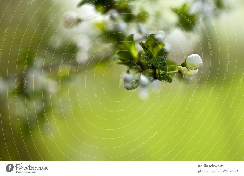 Apfelblütenknospen Umwelt Natur Pflanze Frühling Baum Blatt Blüte Nutzpflanze Park Feld ästhetisch grün weiß Apfelbaum Apfelbaumblatt Blütenknospen Farbfoto