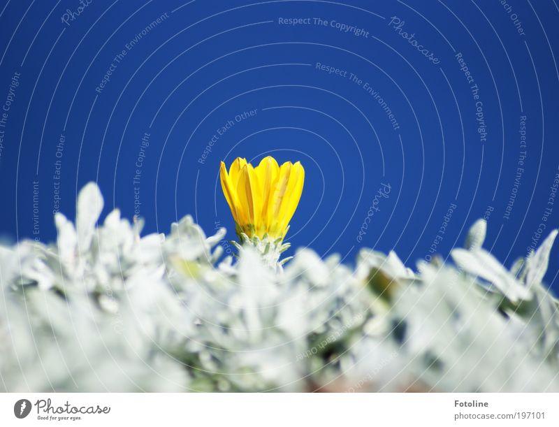 Ein Klex gelb Umwelt Natur Landschaft Pflanze Urelemente Luft Himmel Wolkenloser Himmel Sonne Frühling Sommer Klima Wetter Schönes Wetter Blume Blatt Blüte Park