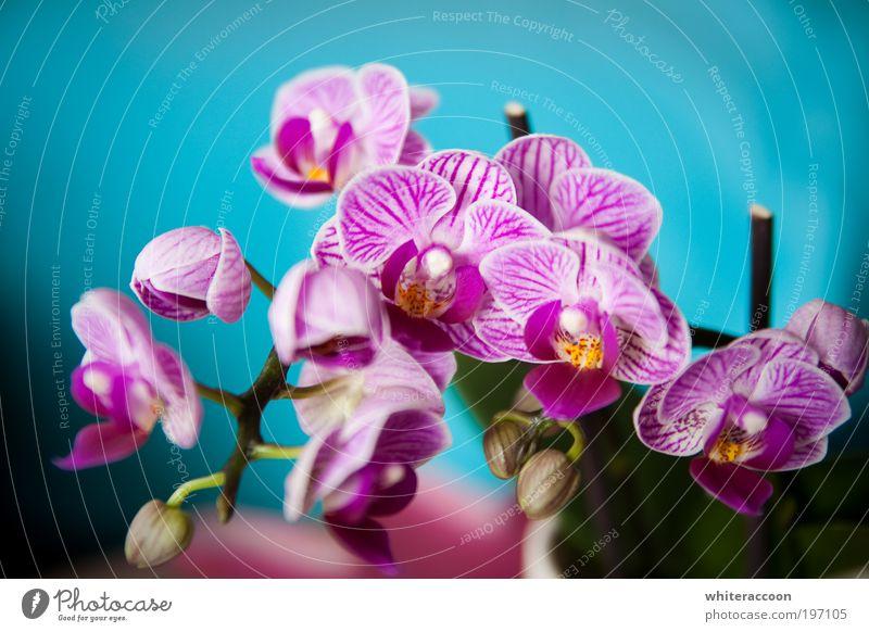 The Flower I Love Stil exotisch Pflanze Orchidee Blühend Duft blau mehrfarbig gelb rosa Farbfoto Nahaufnahme Makroaufnahme Tag Sonnenlicht Zentralperspektive