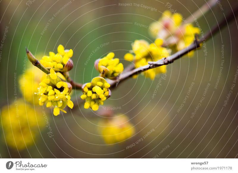 Frühlingserwachen Natur Pflanze schön grün gelb Blüte natürlich braun Sträucher Blütenknospen Frühlingsgefühle Wildpflanze Zweige u. Äste Frühlingsblume