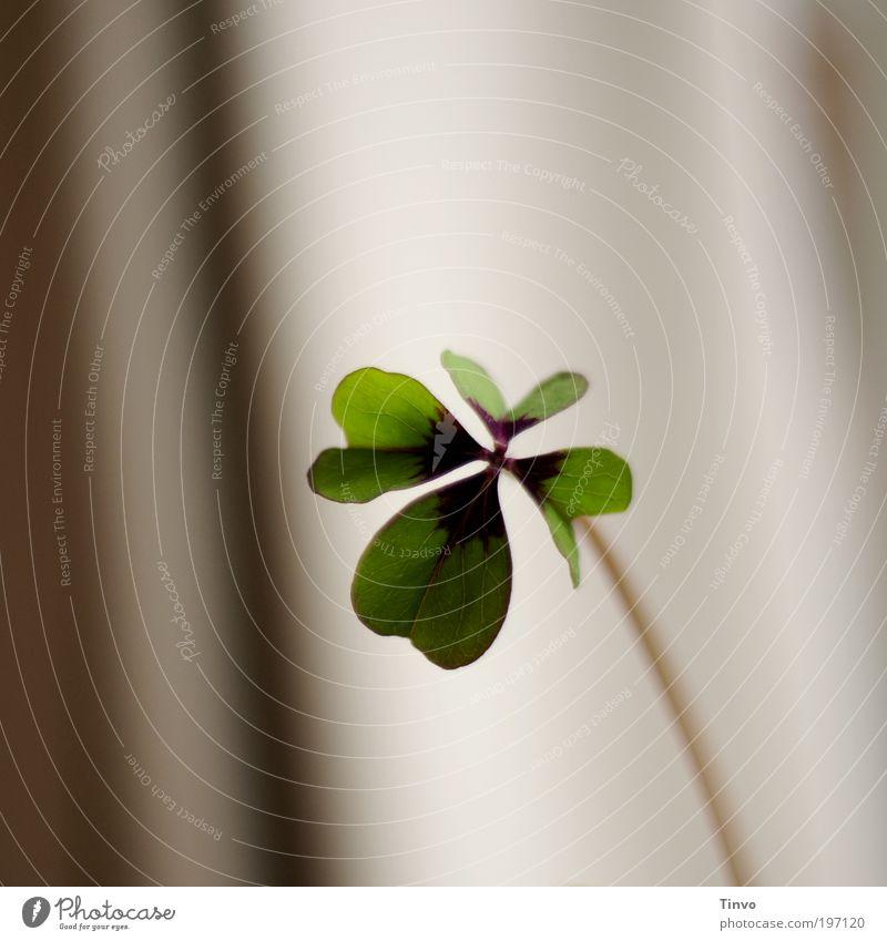 Glückstag grün Pflanze Blatt Blüte Glück Wunsch Stengel positiv Symbole & Metaphern Kleeblatt Glückwünsche Glücksbringer Topfpflanze Wildpflanze herzförmig Glücksklee