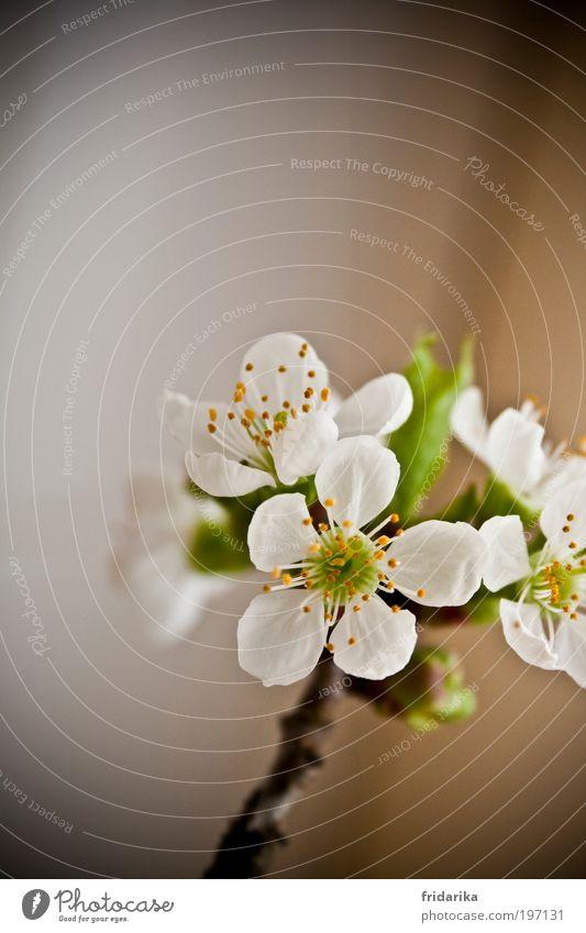 kirschblüte weiß grün schön Pflanze Blatt ruhig gelb Erholung Leben Blüte Frühling braun Beginn Wachstum Dekoration & Verzierung Vergänglichkeit
