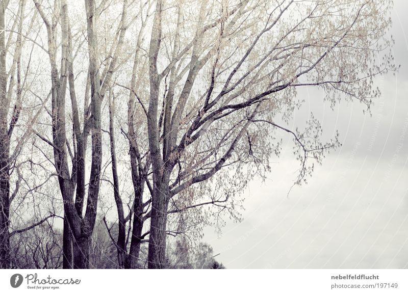 Bäume am Rhein Natur Himmel Wolken schlechtes Wetter Baum alt ästhetisch elegant trist Stimmung Kraft Macht Schutz Warmherzigkeit ruhig Einsamkeit einzigartig