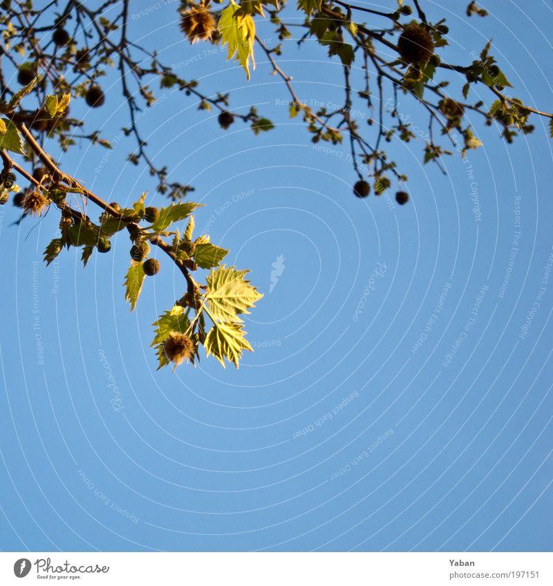 Silence is golden Natur Pflanze Himmel Frühling Baum Blatt Blühend gelb grün Farbfoto Außenaufnahme Menschenleer Textfreiraum unten Tag