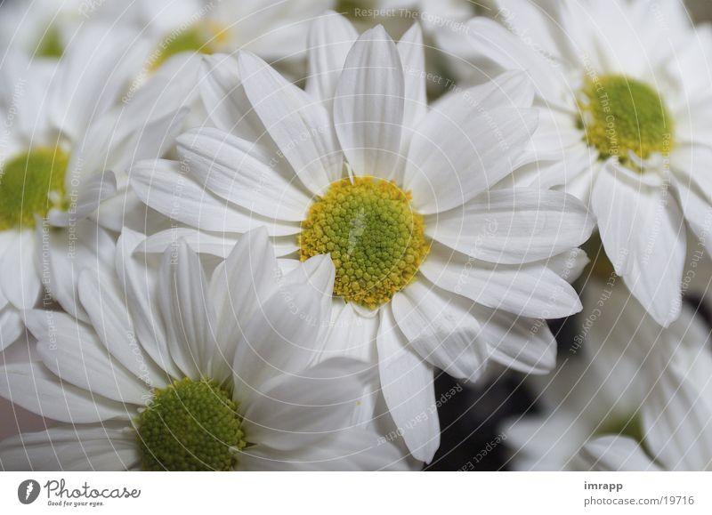Mageritten Blume Pflanze Garten Margerite