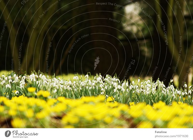 Blütenmeer Umwelt Natur Landschaft Pflanze Frühling Schönes Wetter Baum Blume Garten Park natürlich gelb grün weiß Schneeglöckchen Winterlinge Frühblüher