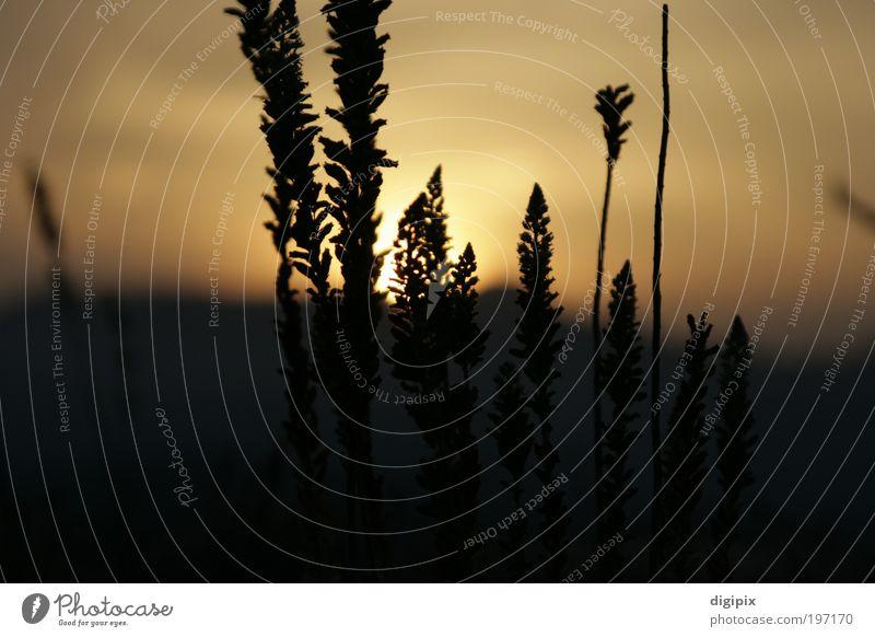 Distant Sunset Pflanze Sonne Ferne Wiese Landschaft Gras Erde gold Schönes Wetter Klima