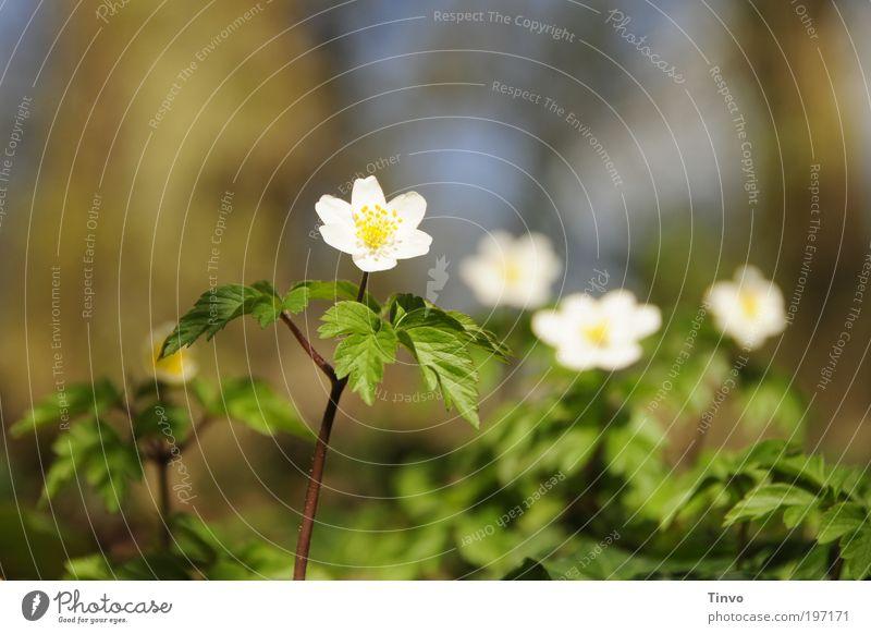 Frühling im Wald Natur schön Blume grün Pflanze ruhig Leben Kraft klein frisch Fröhlichkeit Wachstum authentisch dünn