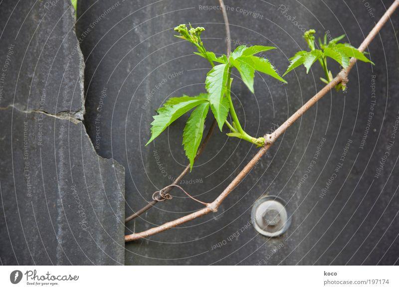 nature finds a way Natur grün Pflanze Sommer Blatt schwarz Wand Frühling Holz grau Mauer braun Metall Umwelt Beton Hoffnung