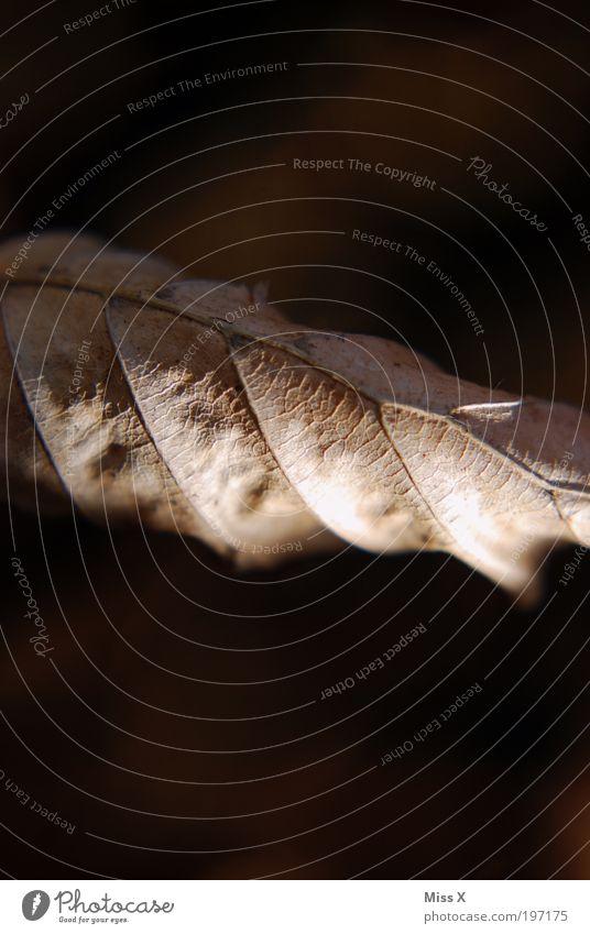 Eingerollt Natur Baum Blatt dunkel Herbst Park trist trocken vertrocknet welk Blattadern