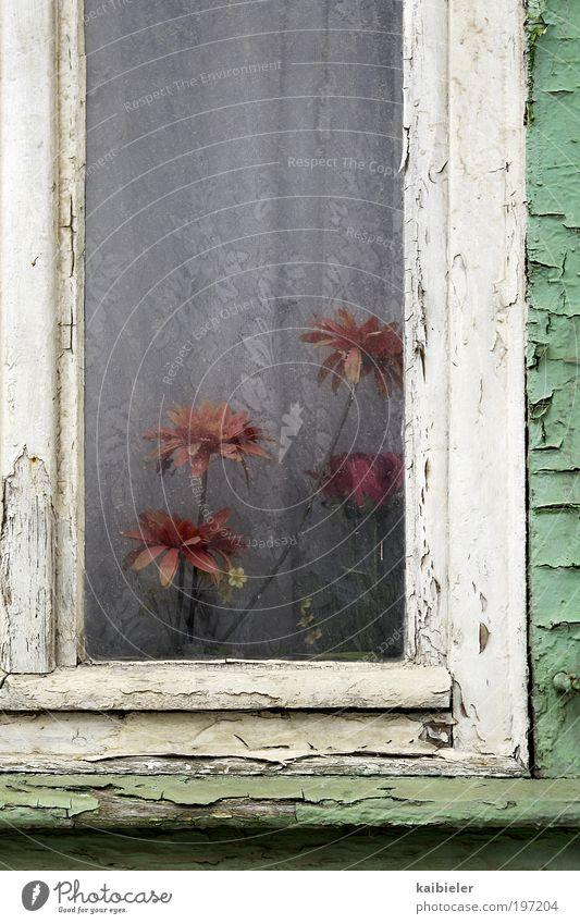 Gewächshaus alt Blume grün rot Haus Einsamkeit dunkel Fenster Blüte Wohnung trist kaputt Kitsch Dekoration & Verzierung Häusliches Leben Vergänglichkeit