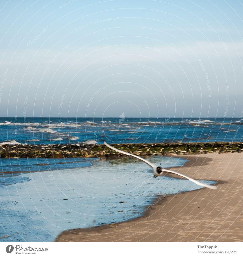 Achtung Tiefflieger! Meer Strand Ferien & Urlaub & Reisen Tier Erholung Freiheit Küste fliegen frei Horizont Luftverkehr Klavier Möwe Nordsee Flügel Schweben