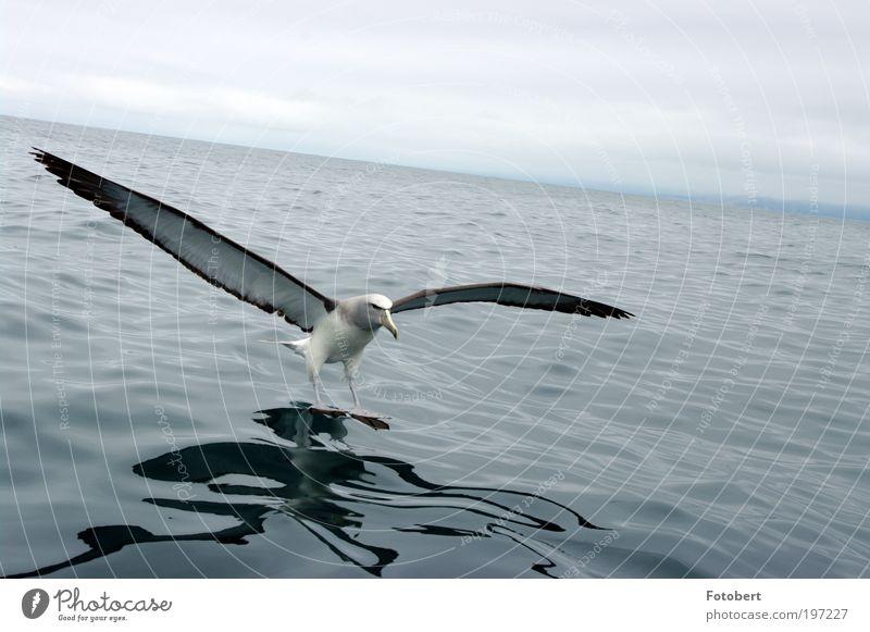 landender Albatros Wasser Tier Vogel ästhetisch Wildtier Neuseeland Meeresvogel Licht Albatros