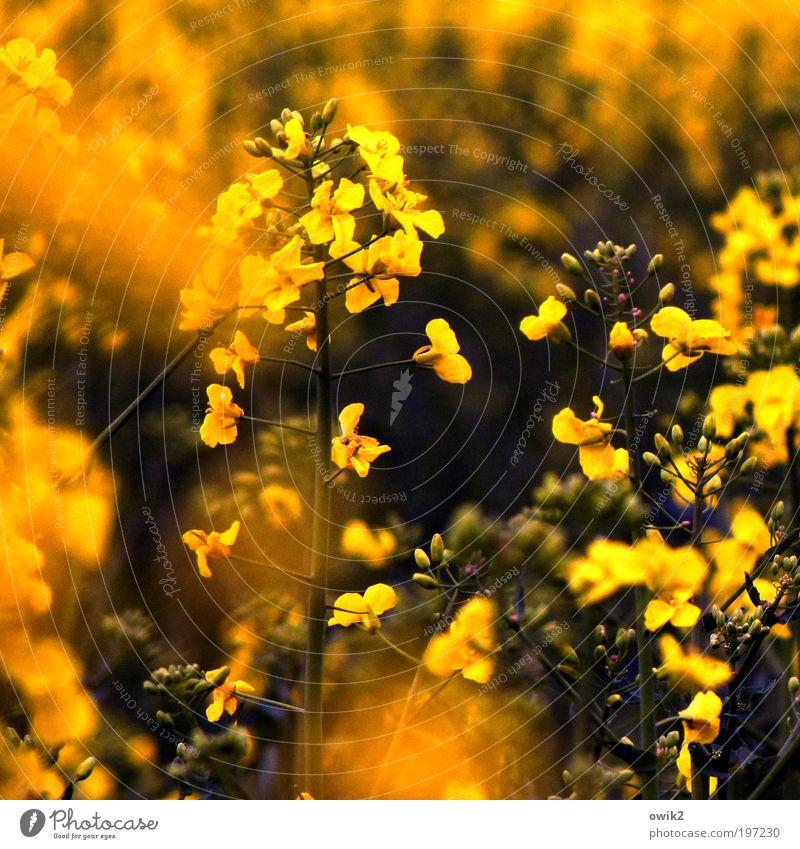 Naturgewalten Sonnenbad Frühling Klima Schönes Wetter Pflanze Sträucher Blatt Blüte Nutzpflanze Raps Rapsfeld Feld Landwirtschaft atmen Bewegung Blühend Duft