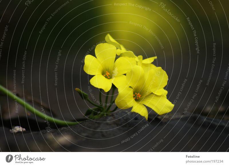 Ein Blümchen für PC Umwelt Natur Pflanze Frühling Sommer Klima Wetter Schönes Wetter Wärme Blume Park Duft schön gelb Blüte Blütenblatt Blütenkelch Blühend