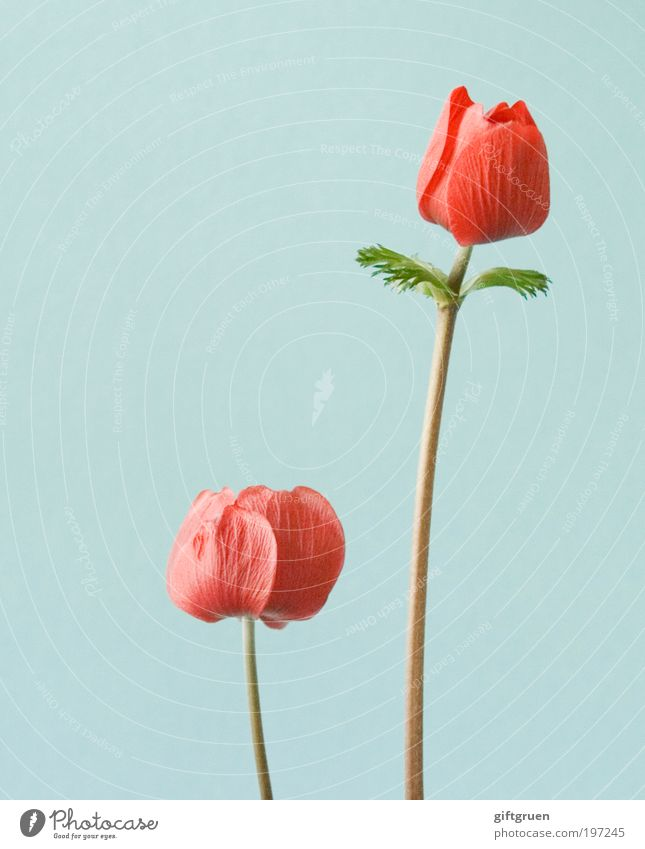 pat & patachon Natur blau Pflanze rot Blume Blatt Blüte Frühling ästhetisch Wachstum Wandel & Veränderung Blühend Blütenknospen Umweltschutz Konkurrenz Blütenblatt