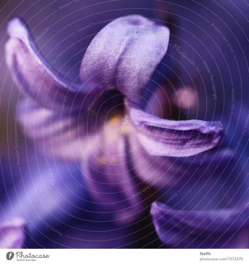 Hyazinthe Natur Pflanze Frühling Blume Blüte Blütenblatt Frühlingsblume Gartenblume Gartenpflanzen Blühend schön violett Frühlingsgefühle Romantik Farbe
