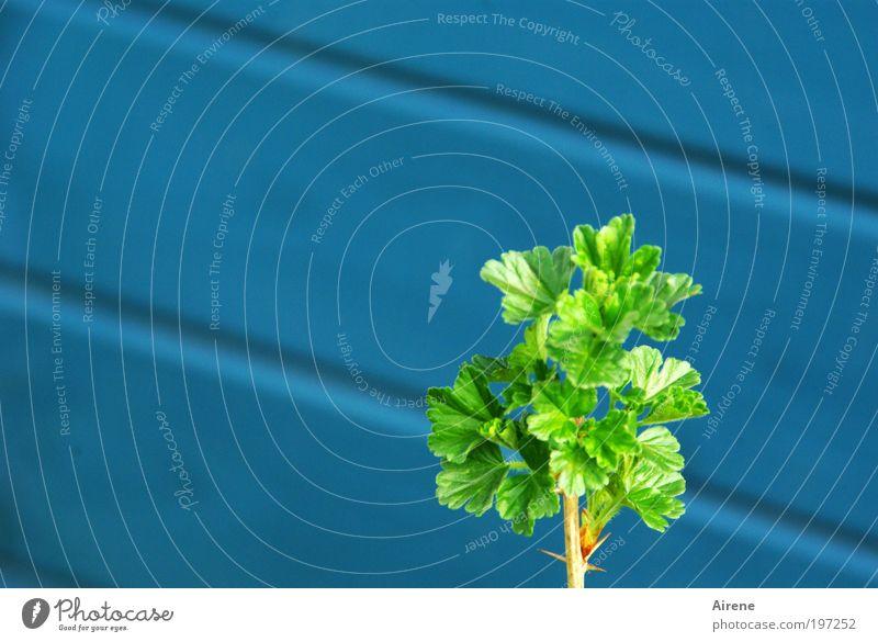 Frühlingsgefühl Natur grün blau Blatt Einsamkeit Leben Garten Zufriedenheit klein Erfolg Hoffnung Wachstum Sträucher zart Gartenbau