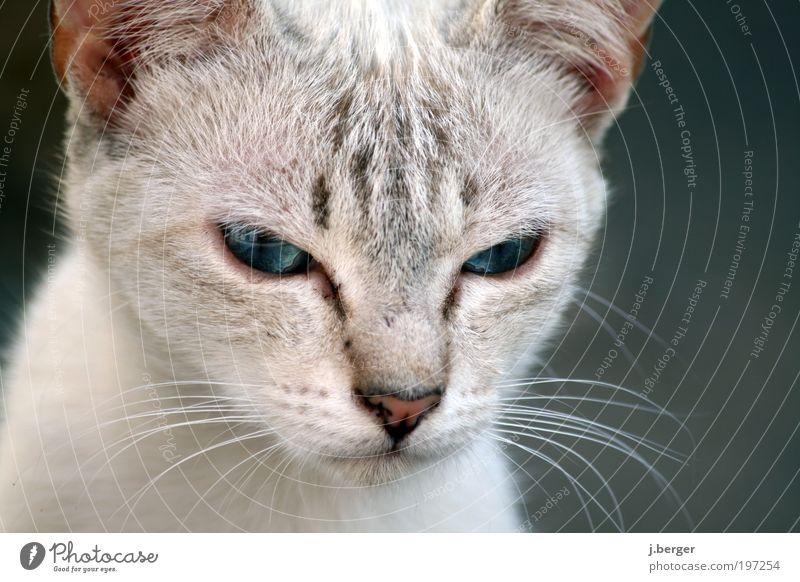 alien Tier Haustier Katze Tiergesicht Fell 1 Tierjunges ästhetisch außergewöhnlich bedrohlich dünn kuschlig nah niedlich weich blau grau silber Wachsamkeit