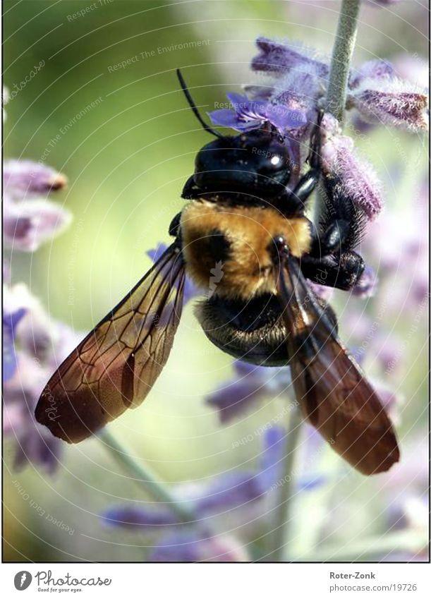 Humel Natur Tier Biene