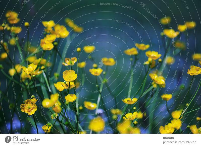 Butterblumen Natur blau grün Sommer Blume Erholung ruhig Umwelt gelb Leben Blüte Frühling Wiese Gesundheit Fröhlichkeit Blühend