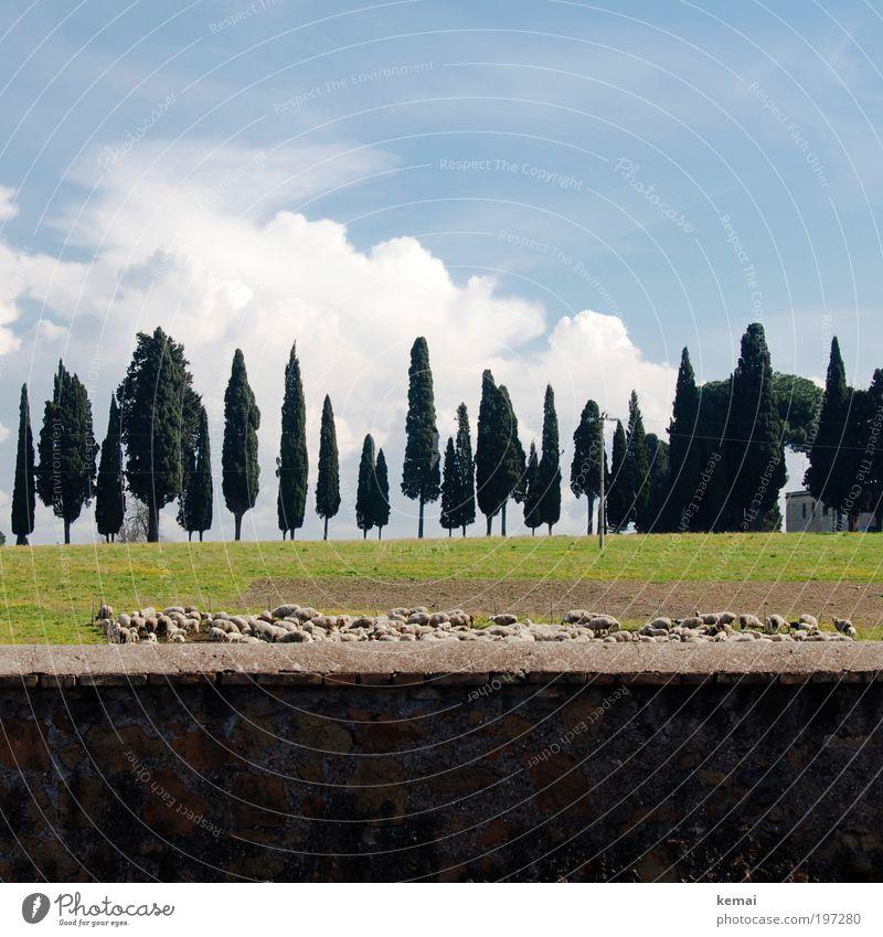 Out of Rome Umwelt Natur Landschaft Pflanze Tier Erde Himmel Wolken Sommer Schönes Wetter Baum Gras Feld Italien Stadtrand Mauer Wand Nutztier Schaf Tiergruppe