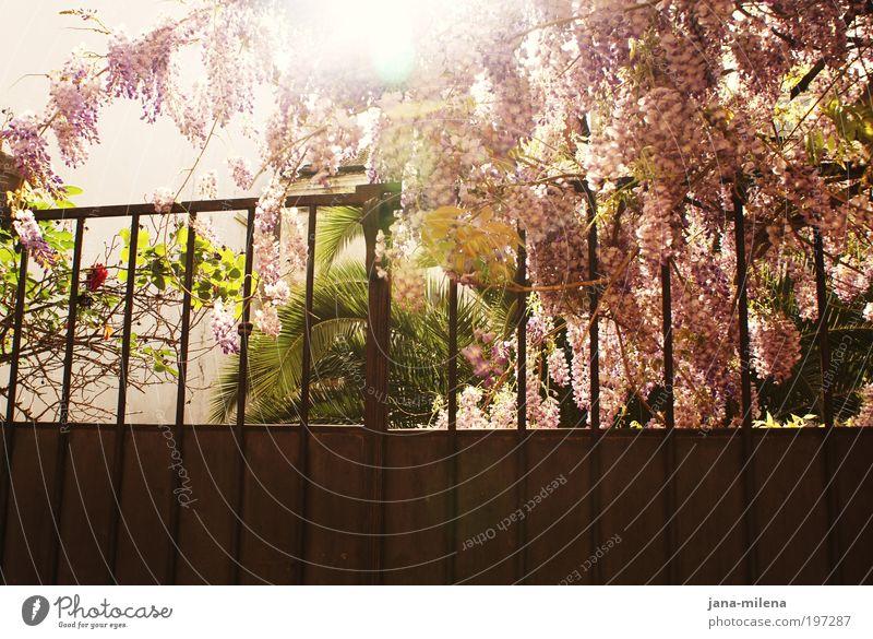endlich frühling - auch im hinterhof :) Natur Sonne Pflanze Sommer Ferien & Urlaub & Reisen Wand Garten Glück Mauer Park Wärme Zufriedenheit Stimmung rosa frisch violett