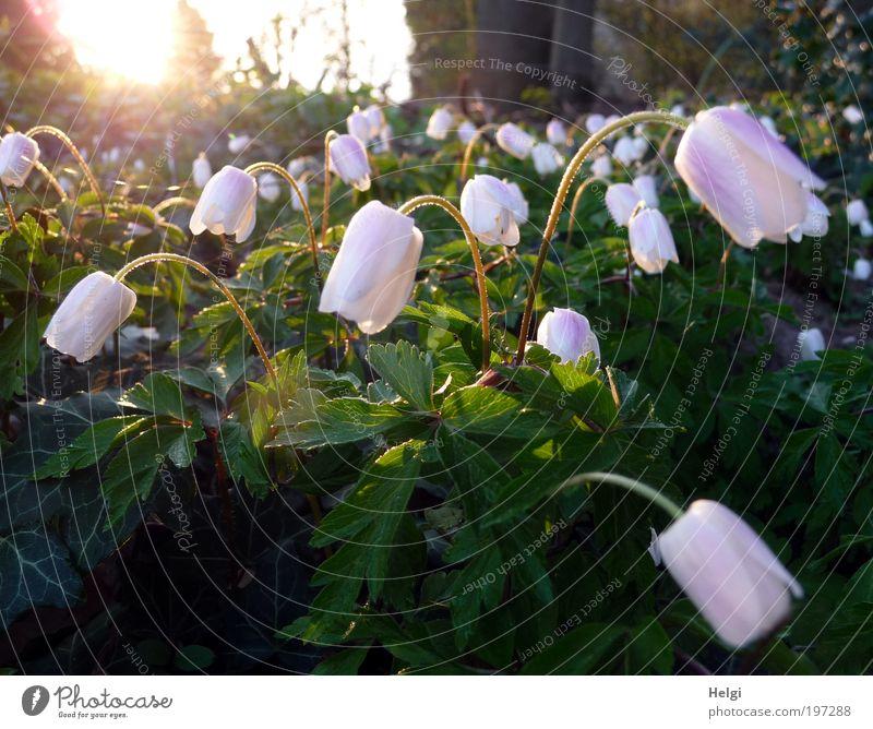 früh morgens... Umwelt Natur Pflanze Sonne Frühling Wetter Schönes Wetter Blume Blatt Blüte Wildpflanze Buschwindröschen Anemonen Blühend glänzend leuchten