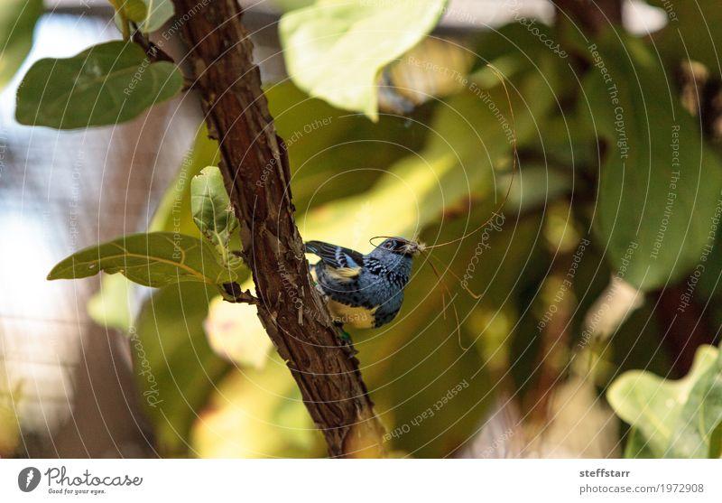 Türkis Tanager bekannt als Tangara Mexicana Natur Pflanze blau grün Baum Tier gelb braun Vogel gold Venezuela Wildvogel