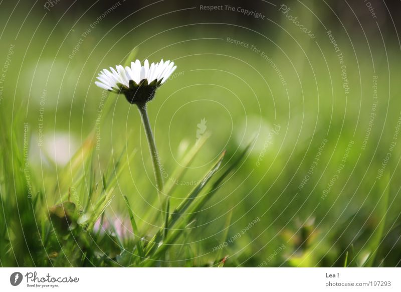Gänseblümchen Frühling klein Umwelt natürlich Blühend Blume