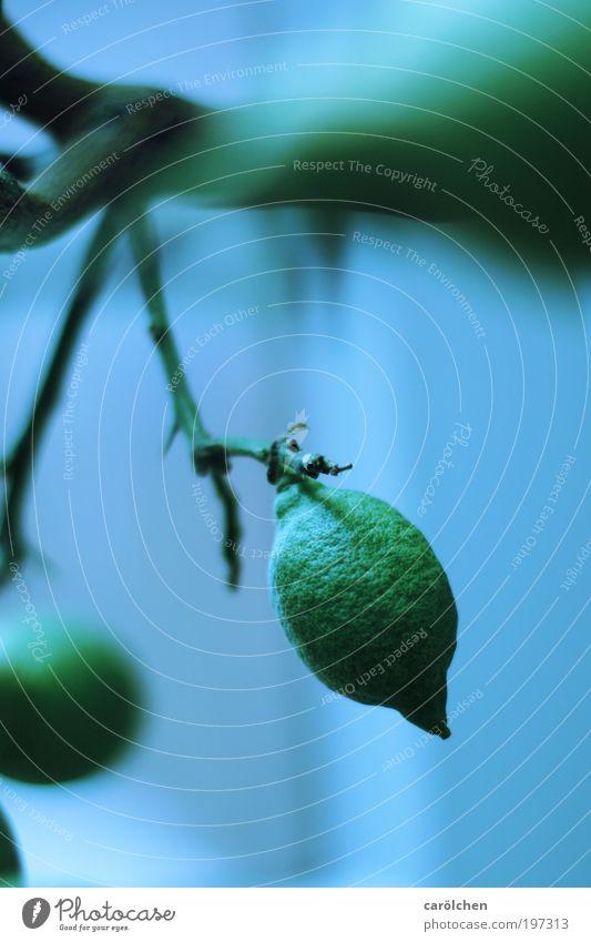 Bio-Zitrone Pflanze Baum Grünpflanze Nutzpflanze blau grün Zitronenbaum Limone Frucht Ast Geäst Farbfoto Gedeckte Farben Innenaufnahme Nahaufnahme